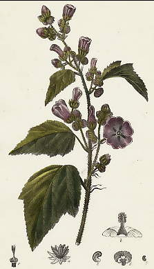 Guimause Officinale, Althaea Officinalis