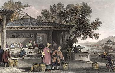 The Culture and Preparation of Tea
